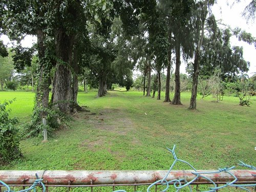 Grove of Mahogony Trees Adorn the Nursery